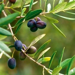 Huile végétale d'olive : propriétés actif cosmétique naturel BIOVIVE