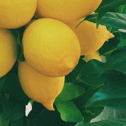 Eau de citron : propriétés actif cosmétique naturel BIOVIVE