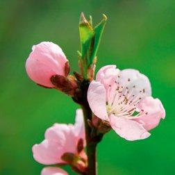Bourgeon de cerisier : propriétés actif cosmétique naturel BIOVIVE