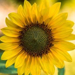 Huile végétale de tournesol : propriétés actif cosmétique naturel BIOVIVE