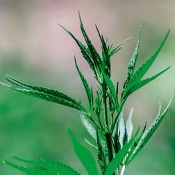 Huile végétale de chanvre : propriétés actif cosmétique naturel BIOVIVE